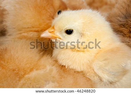 Yellow chicken with many chicks huddled around