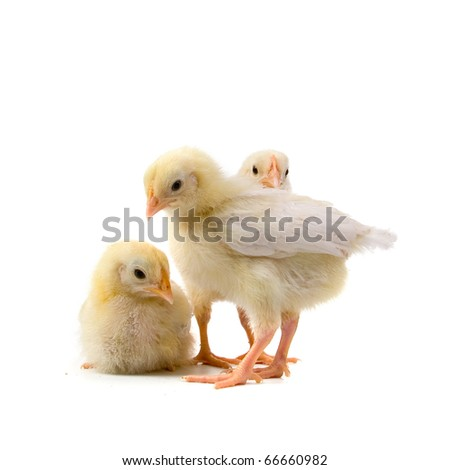 Yellow chickens isolated on a white background