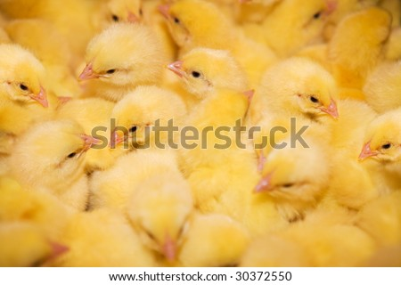Yellow chickens on a modern poultry farm