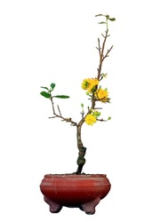 yellow Chinese new year flower with old pot (OCHNA INTEGERRIMA plant) isolated
