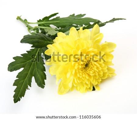 Yellow chrysanthemum - stock photo