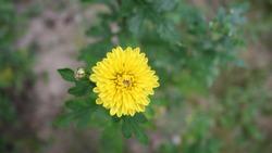Yellow chrysanthemum flower and bud
