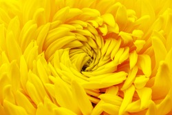 Yellow chrysanthemum flower blossom, close up macro. Yellow Chrysanthemums ( mums or chrysanths ) flowering head. Chrysanthemum full Bloom petals.