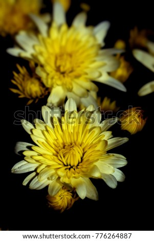 Yellow chrysanthemum flowers detail on black backround ez canvas yellow chrysanthemum flowers detail on black backround mightylinksfo