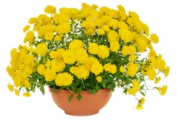 yellow chrysanthemum flowers in pot