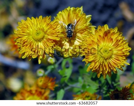 Yellow chrysanthemums and a fly