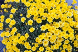 yellow chrysanthemums in the flowerbed in the park