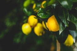 Yellow citrus lemon fruit and green leaves in garden. Citrus Limon grows on a tree branch, close up. Decorative citrus lemon house plant Meyer lemon Citrus × meyeri