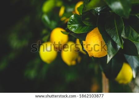 Yellow citrus lemon fruit and green leaves in garden. Citrus Limon grows on a tree branch, close up. Decorative citrus lemon house plant Meyer lemon Citrus × meyeri Сток-фото ©