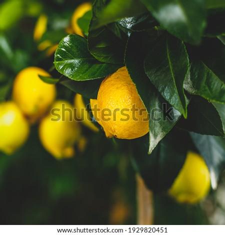 Yellow citrus lemon fruit and green leaves in garden. Citrus Limon grows on a tree branch, close up. Decorative citrus house plant Meyer Citrus × meyeri