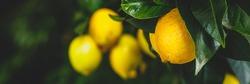 Yellow citrus lemon fruits and green leaves, banner. Citrus Limon  tree, close up. Decorative citrus lemon house plant. Meyer lemon Citrus × meyeri, closeup