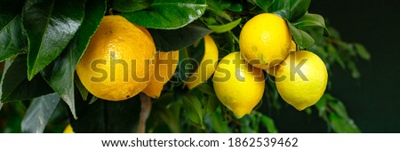 Yellow citrus lemon fruits and green leaves, banner. Citrus Limon  tree, close up. Decorative citrus lemon houseplant Meyer lemon Citrus × meyeri, closeup