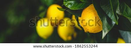 Yellow citrus lemon fruits and green leaves, banner. Citrus Limon  tree, close up. Decorative citrus lemon house plant. Meyer lemon Citrus × meyeri, closeup Сток-фото ©