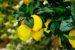 Yellow citrus lemon fruits and green leaves in winter garden. Organic Citrus Limon tree, close up. Decorative citrus lemon houseplant Citrus × meyeri meyer