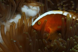 Yellow clownfish (Orange anemonefish, Skunk anemonefish) is hiding in anemone, Panglao, Philippines