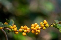 Yellow coffee bean berry plant fresh seed coffee tree growth in Yellow Bourbon eco organic farm. Close up yellow ripe seed berries harvest arabica coffee garden. Fresh coffee bean green leaf bush