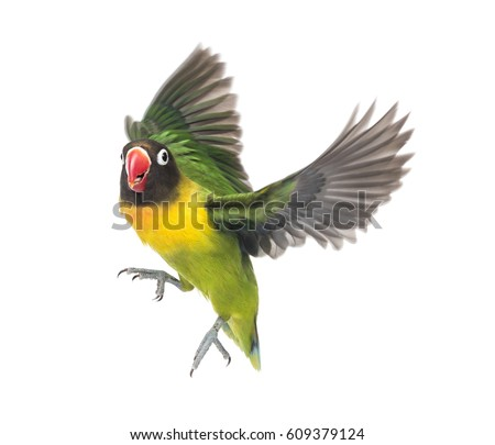Free Photos Yellow Collared Lovebird Flying Isolated On White