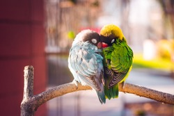 Yellow-collared Lovebirds (Agapornis personatus). Symbol of love