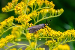 Yellow-collared scape moth, cisseps fulvicollis, on goldenrod. This moth is active during late spring and summer in fields and forest edges throughout Canada.