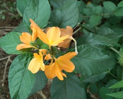 yellow color fire craker flower with leaves. yellow color sherbert firecracker flower.