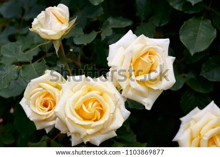 Yellow color rose bloomed in garden. This picture is the blooms yellow color rose which is fascination.