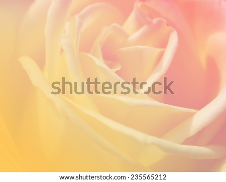 yellow color soft backgrounds natural single rose sweet love