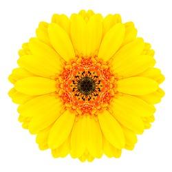 Yellow Concentric Gerbera Flower Isolated on White Background. Kaleidoscopic Mandala Design