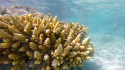 Yellow coral, coral reef in the Red Sea, underwater. Hard corals, underwater landscape. Snorkeling.