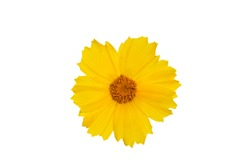 Yellow coreopsis (calliopsis, tickseed) flower isolated on white background.