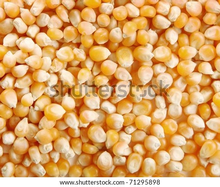 Yellow corn background. Image of food grains