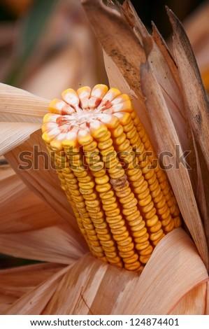Yellow corn cob