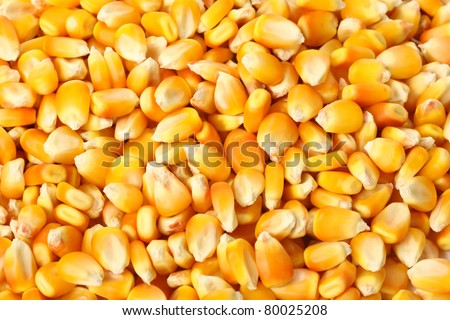yellow corn grain