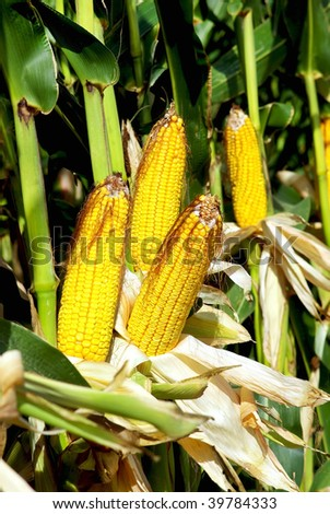 Yellow corn in agricultural field.