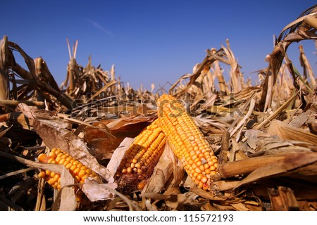 Yellow Corn in the Field. Corn field in autumn on a bright sunny day. Shallow DOF.