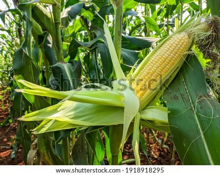 Yellow corn on the green corn plant