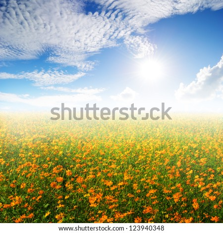 Yellow cosmos flowers and sunset