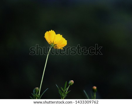Yellow cosmos flowers in darkness, beautiful but lonely, lonely, lonely, soft focus and blurred.