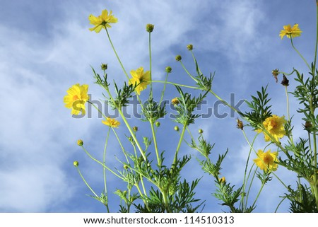 yellow cosmos flowers with blue sky - stock photo