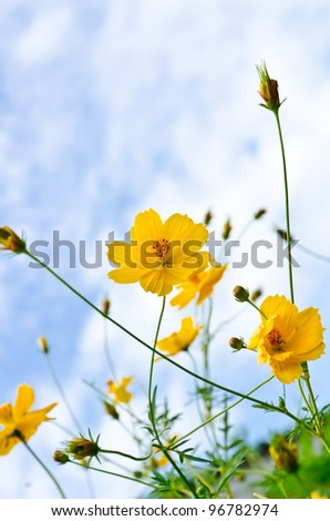 yellow cosmos flowers with blue sky