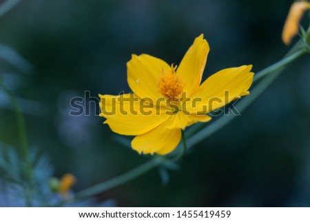 yellow cosmos or Cosmos sulphureus, sulfur cosmos
