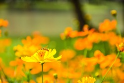 Yellow Cosmos or Mexican aster among several orange flowers as a blurred background. Tiny bee on small yellow flowers in the field on relaxing day. Soft focus. Flower background with copy-space.