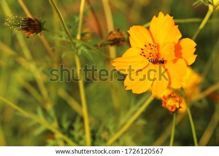 Photo of  Yellow Cosmos or Mexican Aster flower with bee in the morning time.