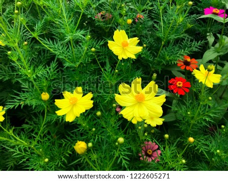Yellow cosmos or sulfur cosmos (Cosmos sulphureus) flower and red - pink zinnia flowers in yellow cosmos bush.