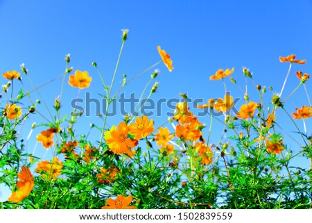 Yellow Cosmos. Yellow cosmos with green leaves against blue sky.