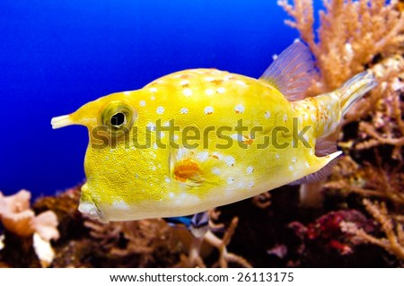 yellow cowfish
