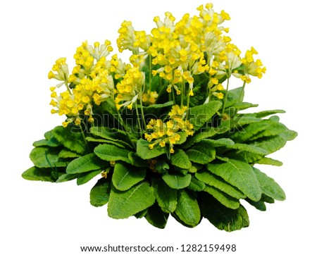 Yellow Cowslip Primrose flowers, Primula Veris on white background isolated #1282159498