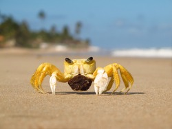 Yellow crab with white claws holding its own eggs, standing on beautiful sunny beach in background