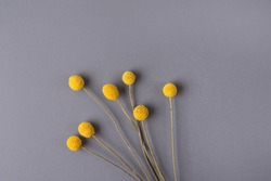 Yellow Craspedia, Billy balls, flowers on grey background. Trend colors-yellow,grey. Copy space. Top view.