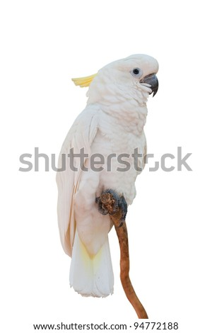 Yellow-crested Cockatoo on white with clipping path Cacatua sulphurea)