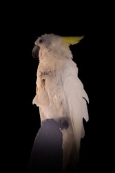 Yellow crested cockatoo resting on a wooden pole. Beautiful bird isolated on plain. Also called sulphur crested cockatoo.